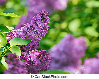 Purple Lilac? Flowers on the Blurred Green Background