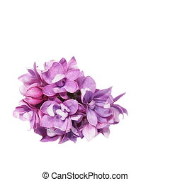 purple lilac isolated on white