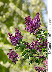 purple lilac on color blurred background - purple lilac...