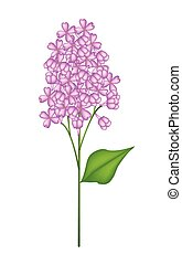 Purple Lilac or Syringa Vulgaris on White Background -...