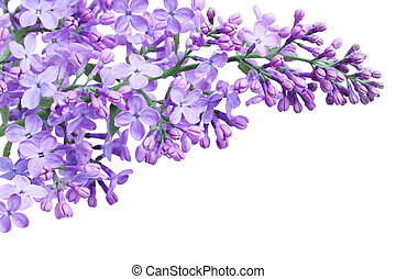 Purple Lilac - Purple lilac flower isolated on white...