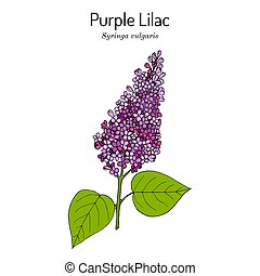 Purple lilac Syringa vulgaris state flower of New Hampshire.