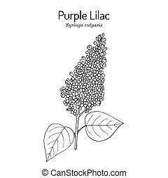 Purple lilac Syringa vulgaris state flower of New Hampshire