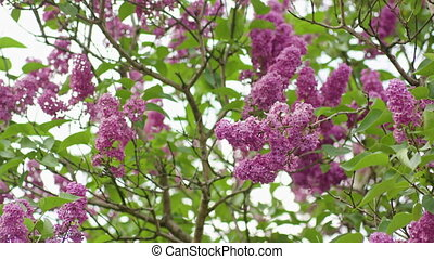 Purple Lilac Trees - Purple lilac trees. Close-up shot