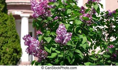 Purple Lilacs in the wind slow motion