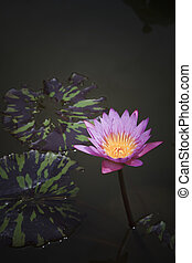 purple lilly in pond
