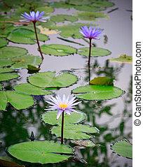 purple lilly lotus on nature pond