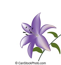 Purple lily flower on a white background