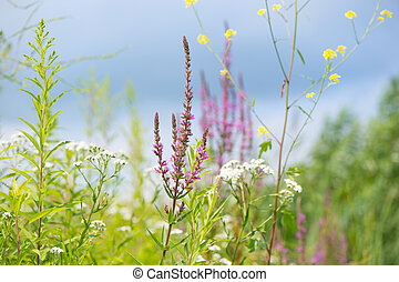 purple loosestrife and other flowers - Blooming purple...