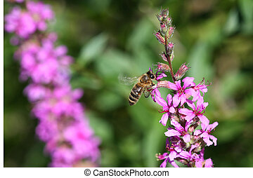 Purple Loosestrife Flower Lythrum salicaria and Honey Bee