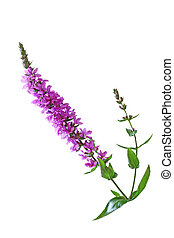 Purple Loosestrife Flower - Lythrum salicaria (Purple...