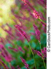 Purple Loosestrife flowers - Purple Loosestrife Flower in...