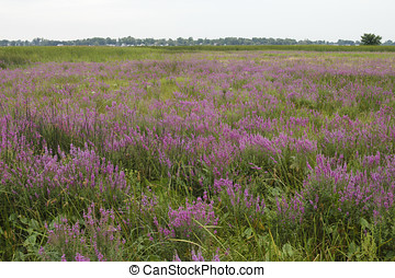 Purple Loosestrife Invasive Species - Purple Loosestrife...