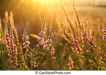 Purple loosestrife (Lythrum salicaria) in a meadow in the...