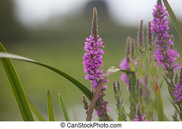 Purple Loosestrife lythrum salicaria, an invasive species