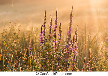 Purple loosestrife (Lythrum salicaria) at sunrise - Purple...