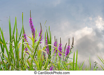 purple loosestrife - Purple loosestrife (lythrum salicaria)...