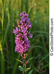 Purple loosestrife, Spiked loosestrife or Purple lythrum...