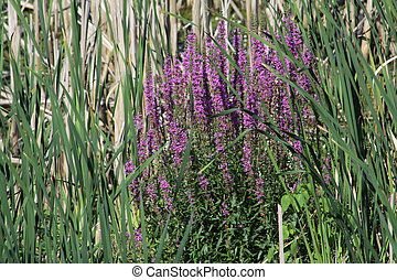 Purple Loosestrife weeds/plant at the edge of a swampy area...