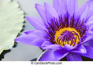 Purple lotus - Closeup purple lotus in the pond