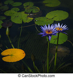 Purple lotus flowers and leaves on a pond