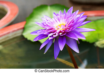 purple lotus flowers in the nature