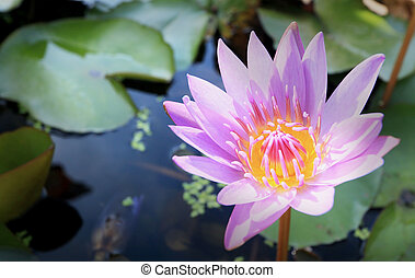 purple lotus in the nature