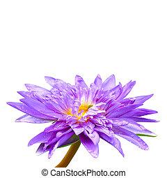 Purple lotus isolated on white background.