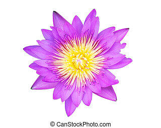Purple lotus isolated on white background with clipping path.