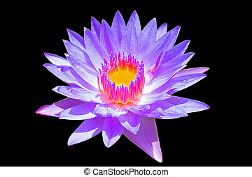 Purple lotus on a black background