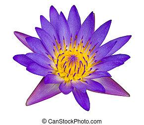 Purple lotus on pond