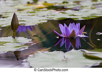 Lotus - Purple Lotus