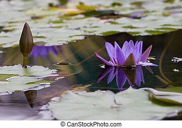 Lotus - Purple Lotus
