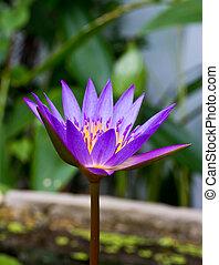 purple lotus, purple waterlily