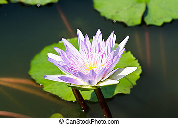 Purple lotus.