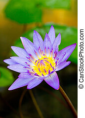 purple lotus,purple waterlily