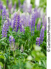 Purple Lupin Flower