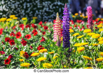purple lupin flower