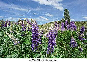purple lupin flower on green hill in South island of New Zealand