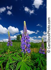 Purple Lupin Flowers