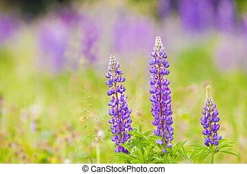 purple lupine flowers in a meadow