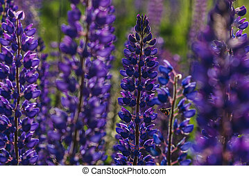 Purple Lupines and Bumblebee Flying