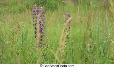Purple lupines blooms in the fields.