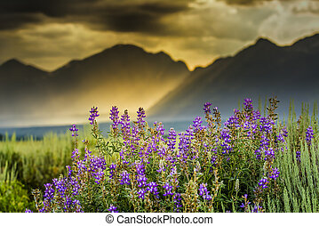 Summer lupine wildflowers underneath a stormy late afternoon sky over the Tetons
