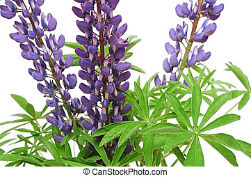 Purple lupines isolated on white
