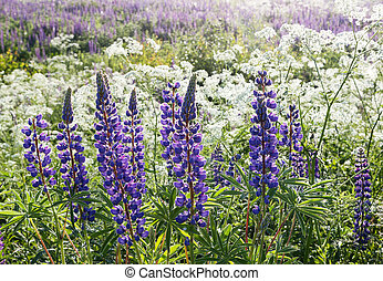 purple lupines in the foreground illuminated backlit by sunlight