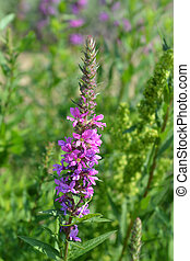 Purple lythrum flower - Latin name - Lythrum salicaria