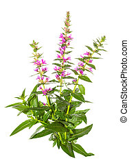 Purple lythrum plant, Lythrum salicaria or spiked...