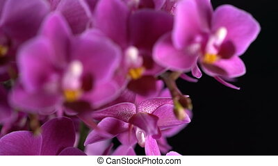 purple mini orchid turns on black background, close up