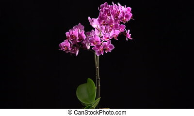 purple mini orchid turns on black background seamless,...